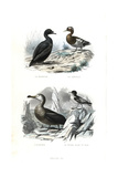 Black Scoter  Eurasian Teal  Albatross and Cape Petrel