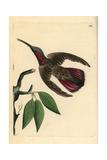 Green-Throated Mango Hummingbird  Anthracothorax Viridigula