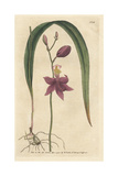 Bletia Purpurea Orchid