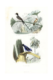 Fork-Tailed Flycatcher  Rufous Flycatcher-Thrush and Blue Dacnis