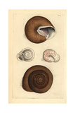 Ringent Snail and Lamp Snail  Helix Ringens and Helix Carocolla