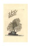 Mesophyllum Lichenoides