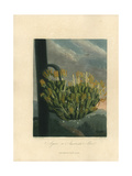 Agave or American Aloe  Agave Americana