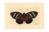 Castnia Invaria Moth  Castnia Invaria