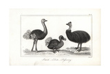 Dodo  Ostrich and Cassowary