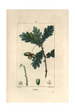 Oak Tree  Quercus Robur  with Acorn  Leaves and Branch