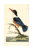 Black-Capped Kingfisher  Halcyon Pileata