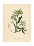 Foetid or Stinking Hellebore  Helleborus Foetidus