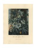 Blue Passion Flower  Passiflora Caerulea