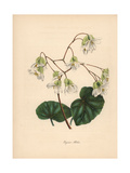 Shining Begonia  Begonia Minor