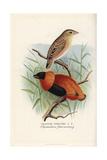 Orange Weaver  Ploceus Aurantius