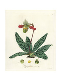 Charming Paphiopedilum Orchid  Paphiopedilum Venustum