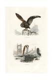 Long-Eared Owl and Barn Owl