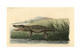 American Crocodile  Crocodylus Acutus Vulnerable
