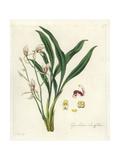 Lance-Leafed Cymbidium Orchid  Cymbidium Lancifolium