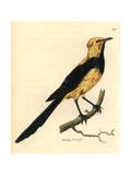 Australasian Thrush from Shaw and Nodder's  Naturalist's Miscell