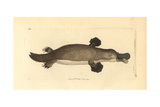 Duck-Billed Platypus  Ornithorhynchus Anatinus
