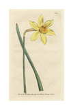 Peerless Daffodil  Narcissus Incomparabilis