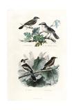 Shrikes  Hook-Billed Vanga and Gonolek