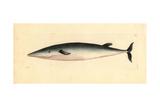 Bottlenose Whale  Hyperoodon Ampullatus