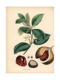 Nutmeg and Mace Tree  Myristica Fragrans