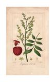 Lychee Tree  Litchi Chinensis