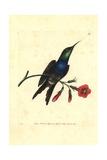 Fork-Tailed Woodnymph Hummingbird  Thalurania Furcata