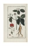 American Ginseng  Panax Quinquefolium Vulnerable