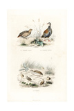 Grey Partridge  Red-Legged Partridge and Quail