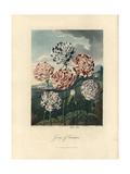 Carnations  Dianthus Caryophyllus Varieties