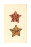 Red Cushion Sea Star  Oreaster Reticulatus