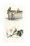 Canary and Linnet