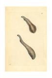 Liver Fluke  Fasciola Ventricosa