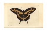 King Swallowtail Butterfly  Papilio Thoas