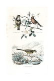 Bluethroat  Robin and Western Yellow Wagtail