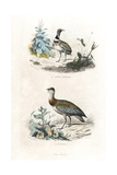 Little Bustard and Great Bustard
