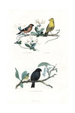Eurasian Bullfinch  Yellowhammer and Black Bullfinch