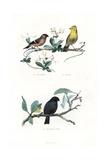 Eurasian Bullfinch  Yellowhammer and Black Bullfinch
