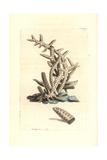 Seriated Madrepore Coral  Madrepora Seriata