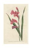 Common Corn Flag  Gladiolus Communis