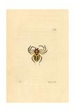 Golden Spider  Aranea Nobilis  Sumatra