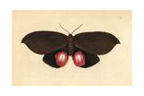 Augusta Moth  Phalaena Augusta