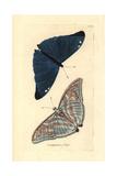 Adonis Blue Butterfly  Polyommatus Bellargus