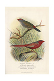 Red-Browed Finch and Crimson Fire Finch