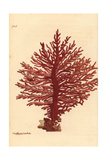 Red African Gorgonian Coral  Gorgonia Pinnata