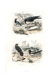 Raven  Jackdaw and Magpie