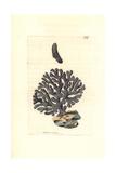 Lace Coral  Distichopora Violacea