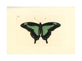 Green-Banded Swallowtail Butterfly  Papilio Phorcas
