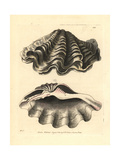 Giant Clam  Tridacna Gigas Vulnerable