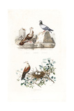 French Mondain and Cravate Pigeons  and Turtle Dove